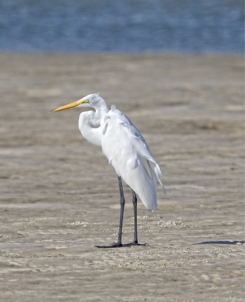 Yellow Beak, Black Feet....Great Egret..