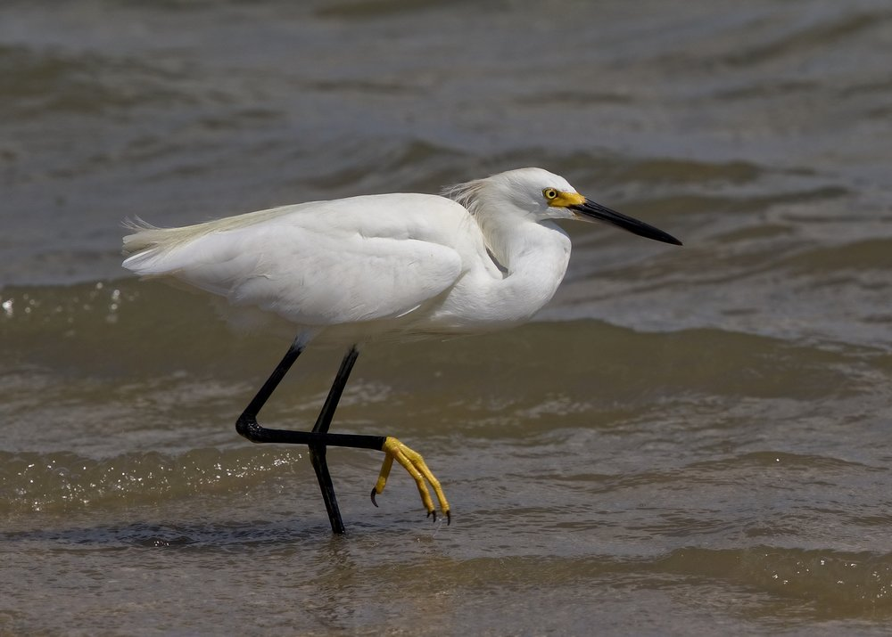 Black Beak, Yellow Feet..Snowy Egret