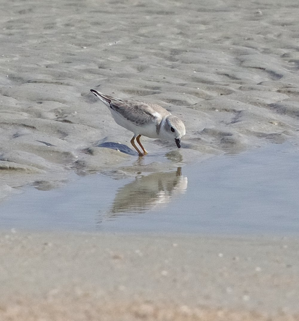 Rare sighting of a Piping Plover