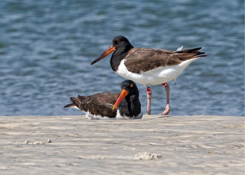 Oystercatcher with Juvenile..(banded earlier this summer)