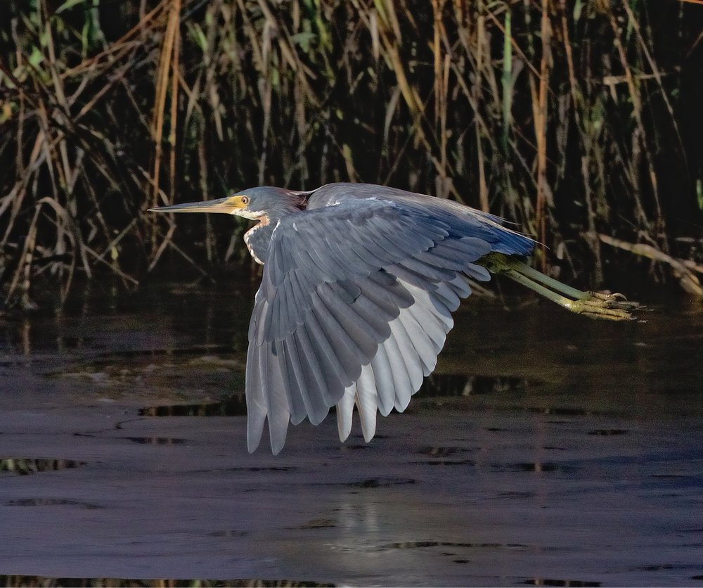 I'm leaving too said the Tricolored Heron..