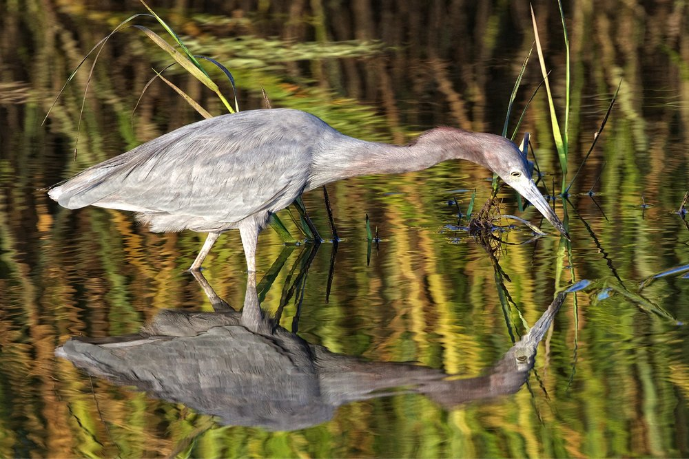 Shortly after my request for photo opportunity, this Little Blue Heron flew in and began hunting for breakfast