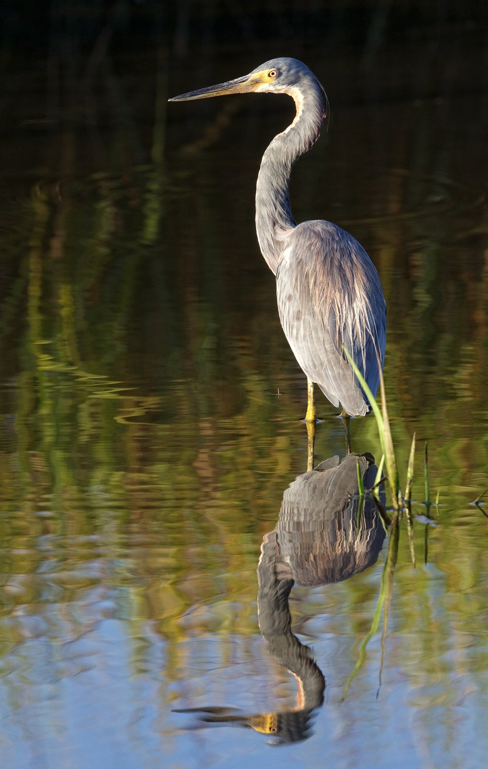 Shortly after that this Tricolored Heron flew in and also began hunting minnows and shrimp