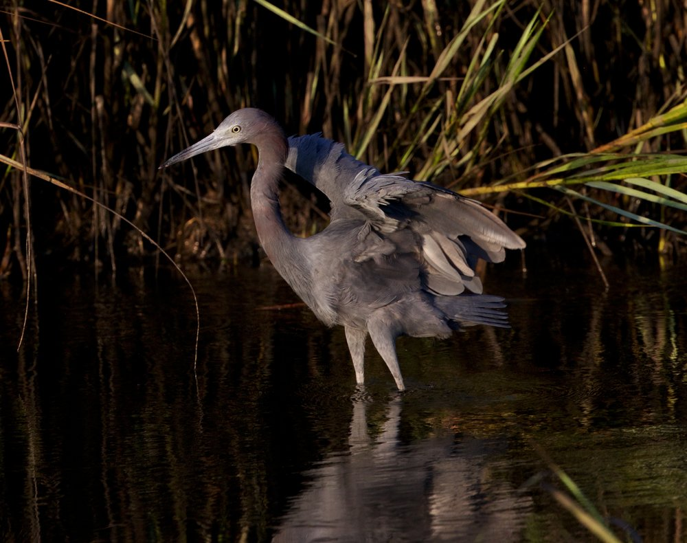 "Here comes my ""Moody"" Little Blue Heron, touching down in the early morning light"