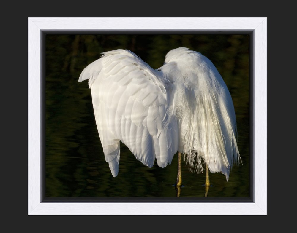 Snowy wings or the headless heron..(framed)