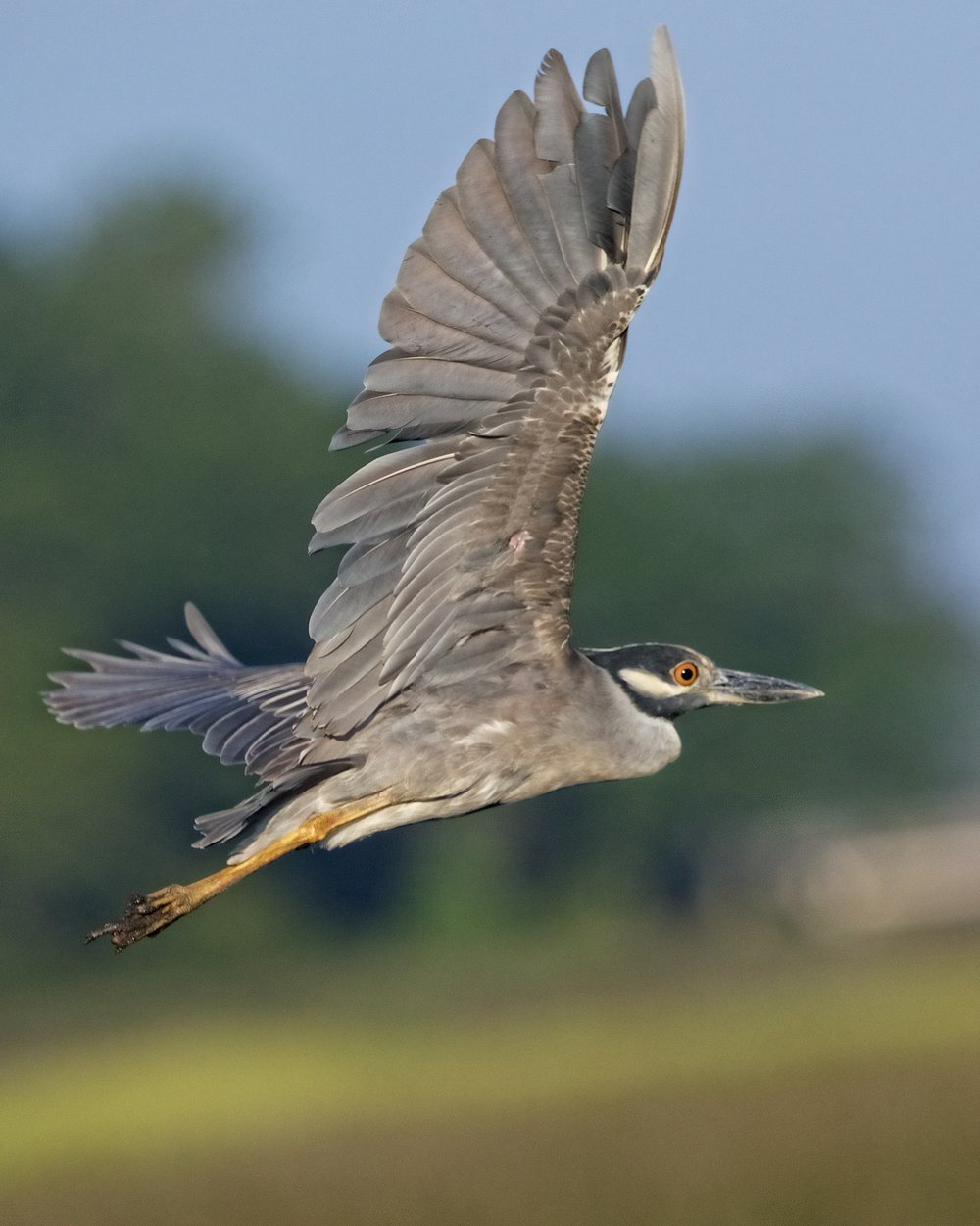 A  fter raising up another generation, George, the Yellow-crowned Night Heron will be leaving for the winter.
