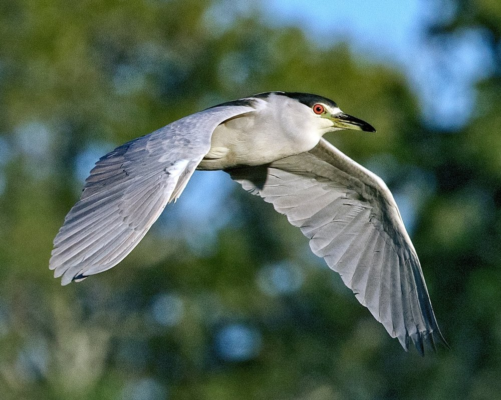 "The Black-crowned Night Herons remain on the Broward year round...this one is taking the ""Red Eye"" home after a night on the Broward.."
