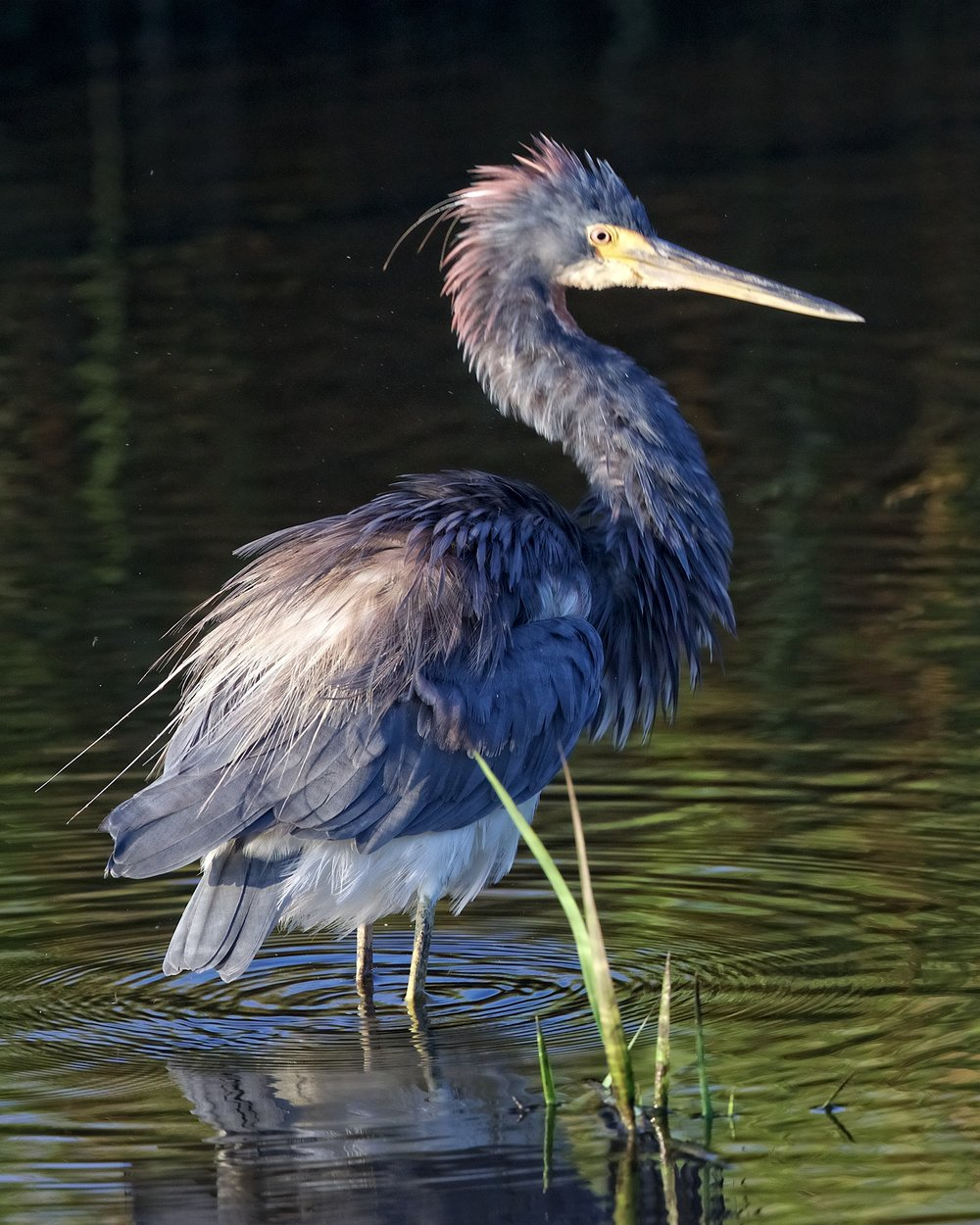 After a feather fluff the Tricolored Heron began to look for breakfast