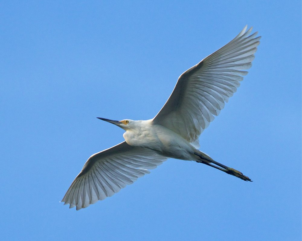 Small flocks of Snowy Egrets are flying over the Broward,,sure beats flecks of snow blowning