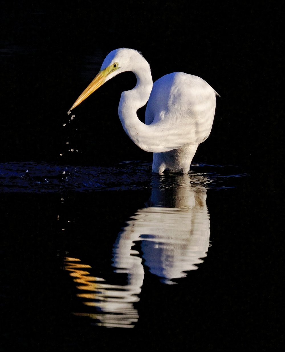 The Great Egret begins to hunt for minnows in the rising tide and early light.