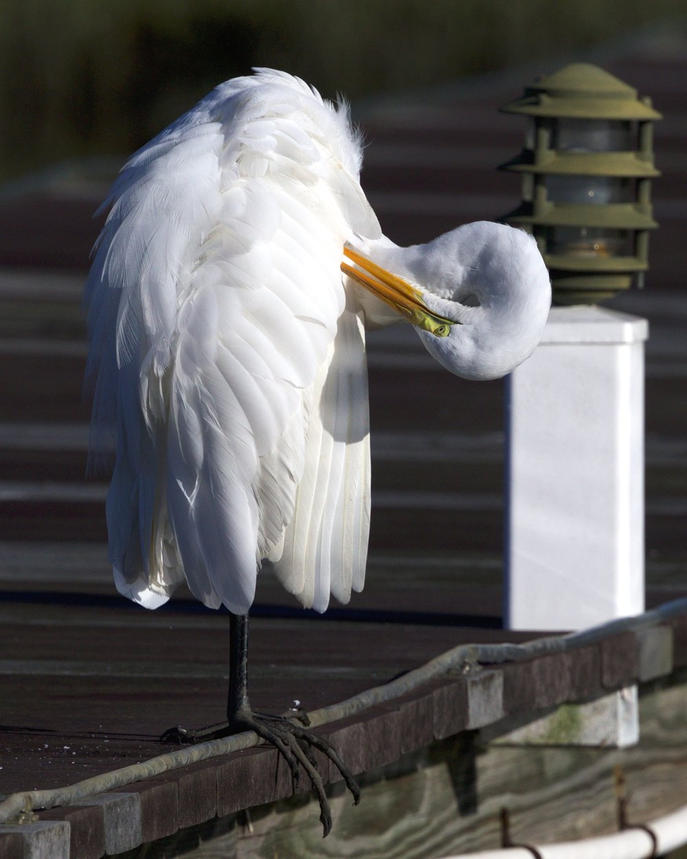 The Great Egret hops up on the dock and also begins to preen.