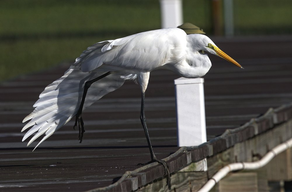The Great Egret does a wing stretch..