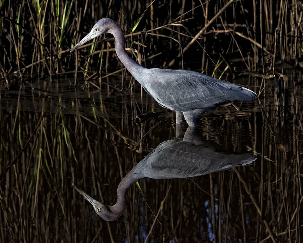 Near perfect reflection of Broward Bob, the Little Blue Heron
