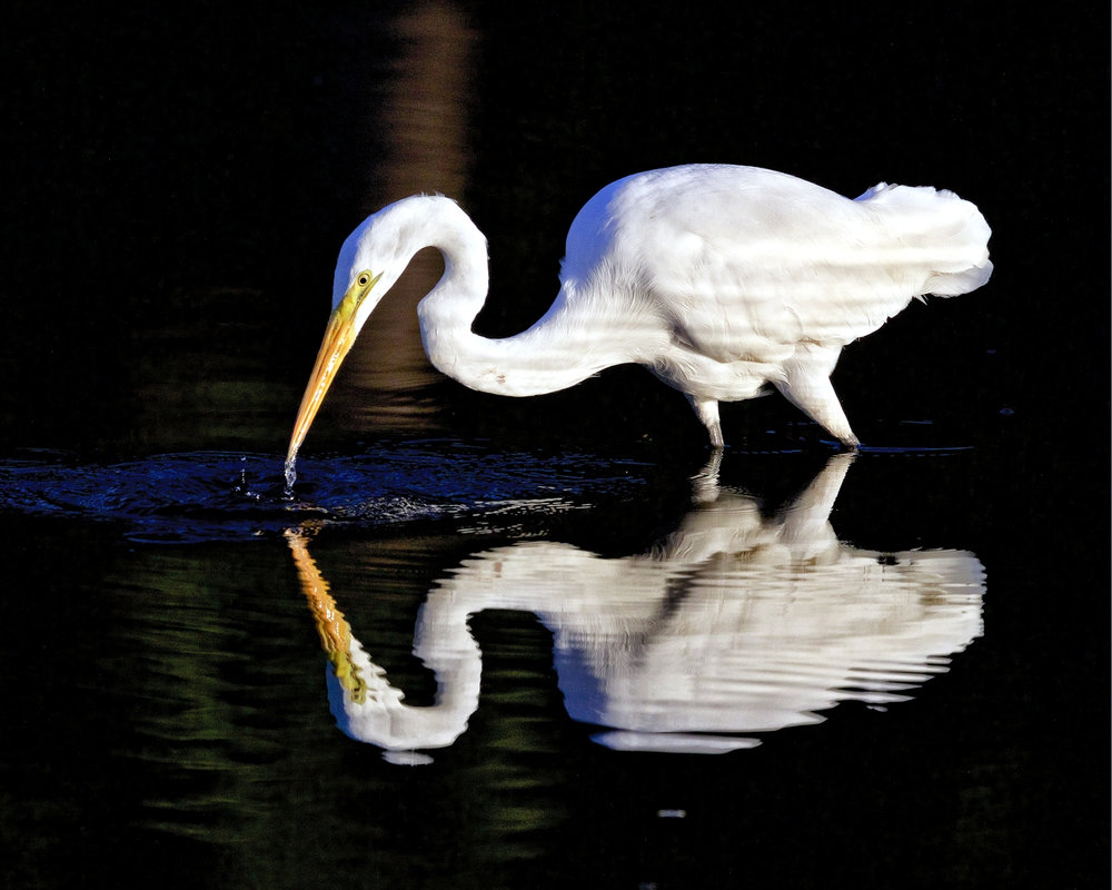 A Great Egret also reflects well in the early morning sun