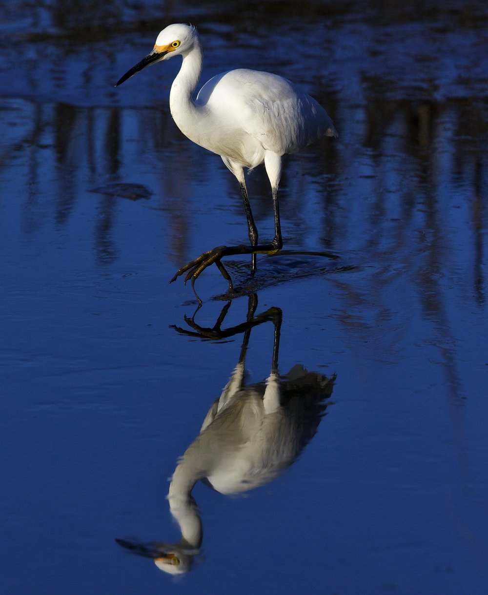 Snowy Egret complains I just had my nails done, now look at my muddy feet!