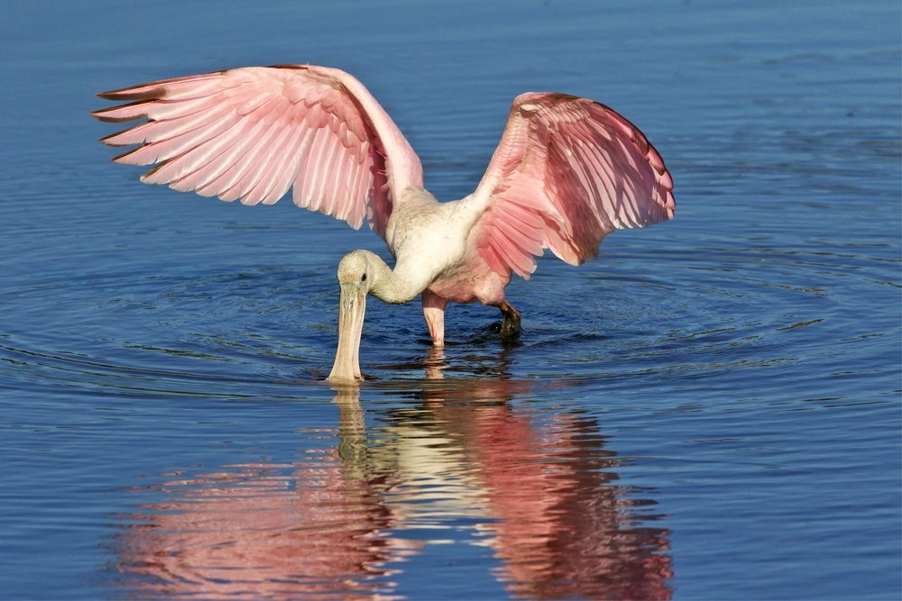Pretty (dirty) in pink...a few Roseate Spoonbills are still around but will be leaving soon