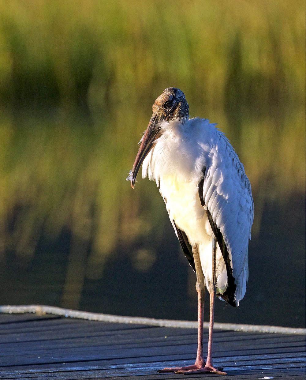 The Wood Stork says I feel pretty too!