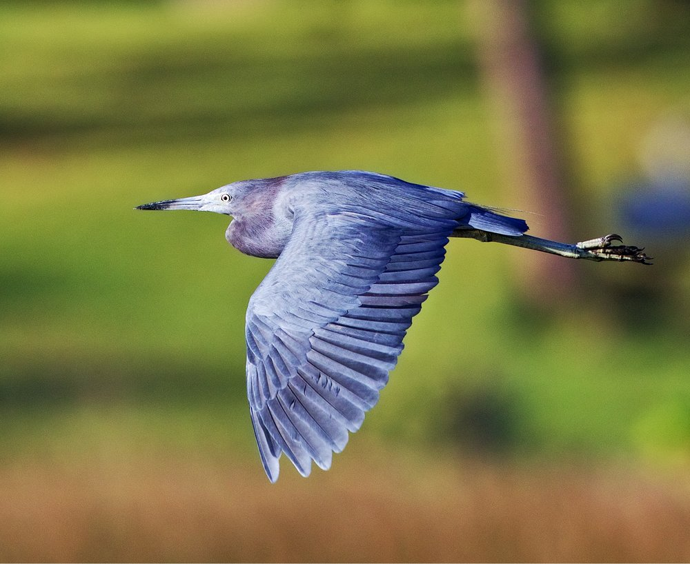 Broward Bob, the Little Blue Heron asks what time is it now,,,this time change is killing me...