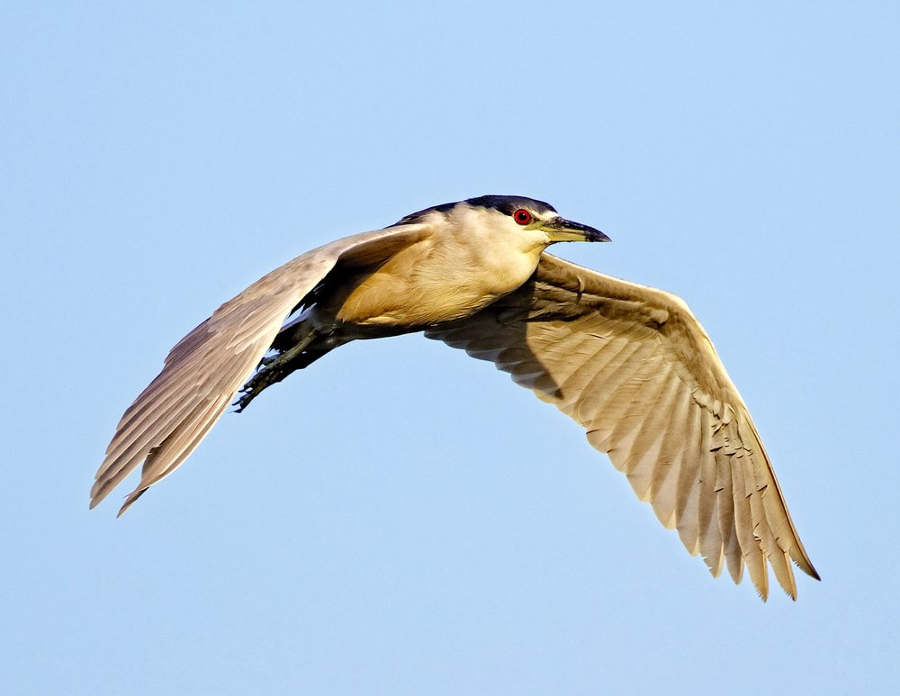 The Black-crowned Night Heron takes the red-eye home, he forgot to change his clock one hour and is late returning home.