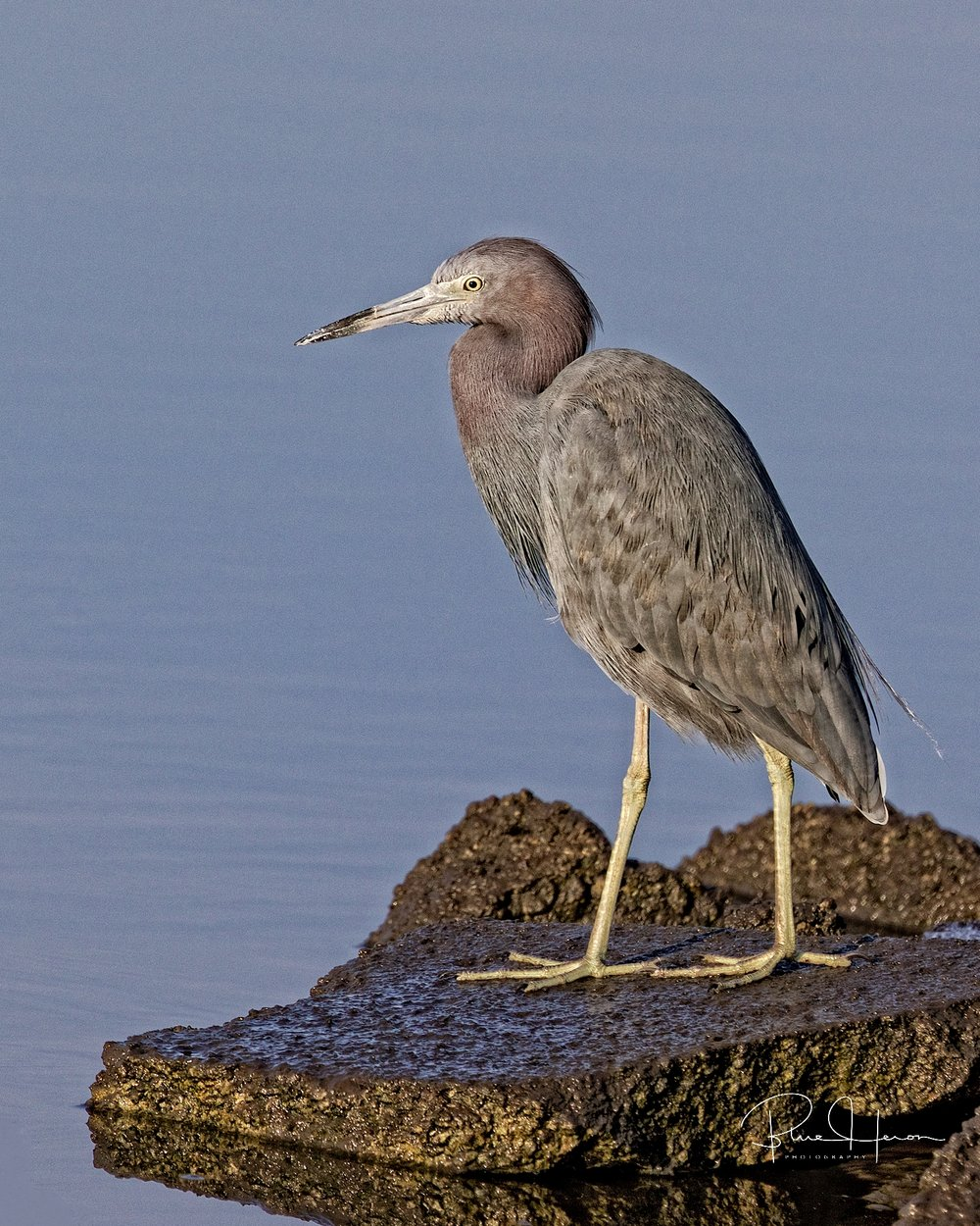 Broward Bob, the Little Blue Heron and prognosticator predicts the sun will rise tomorrow as scheduled on the eternal clock of time.