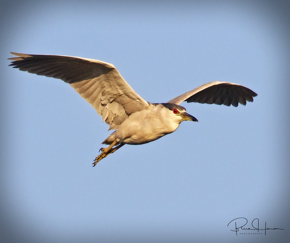 "Black-crowned Night Heron taking the ""Red-Eye"" home after a night on the marsh"