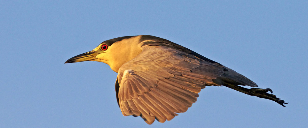 Black-crowned Night Heron reflects the golden glow of morning