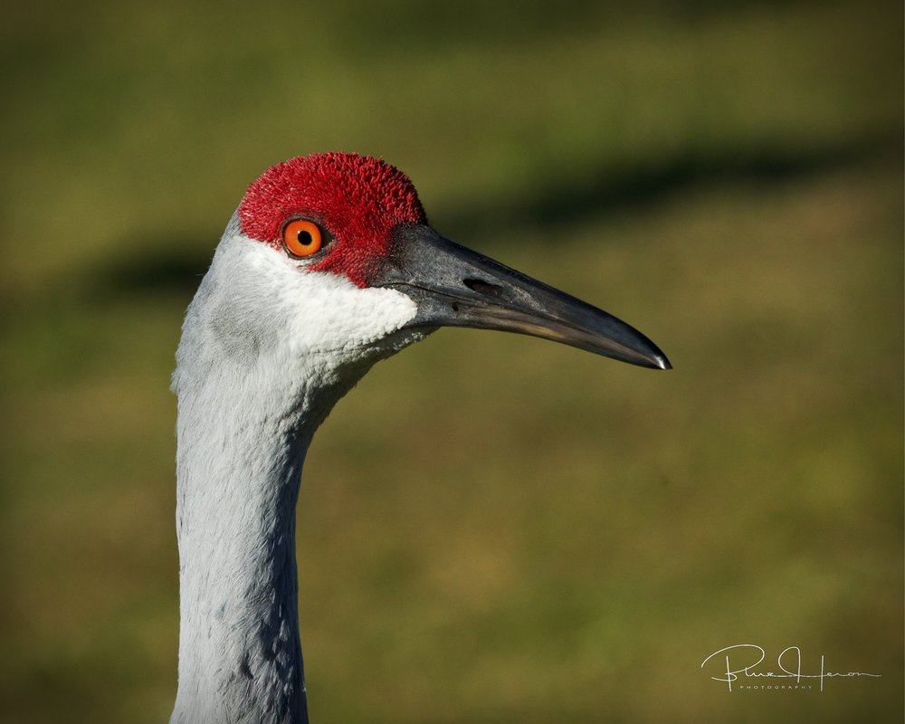 I thought this Sandhill Crane was coming through the truck window..Got any food Mr Doohickey?