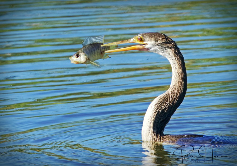 Female Anhinga with fresh catch of the day who does not look too happy
