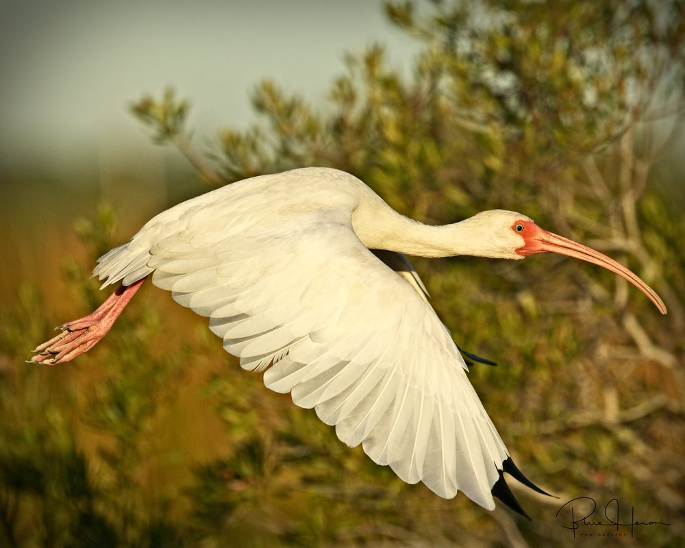 White Ibis take off..