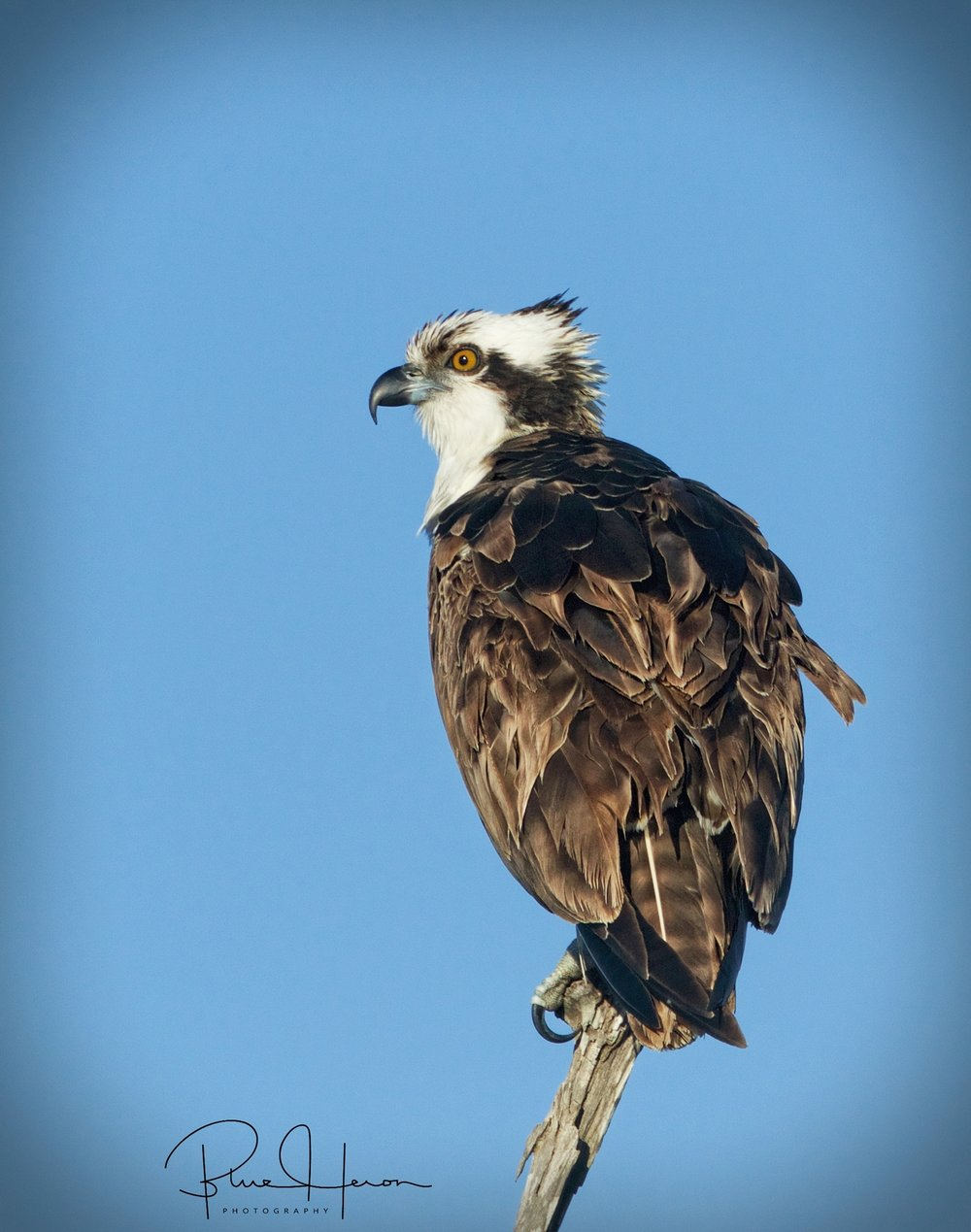 Osprey Vigil..looking for breakfast..