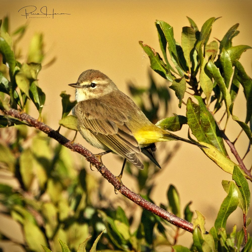 "Palm Warbler also known as ""Butter Butt"""