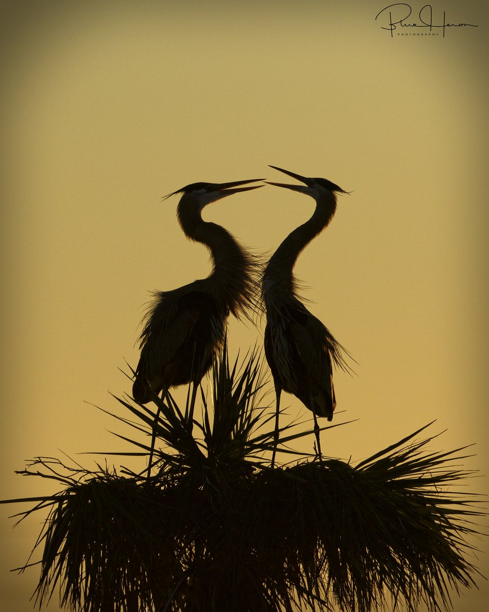 The Great Blue Herons, Gus and Greta are silhouetted by the morning sun..