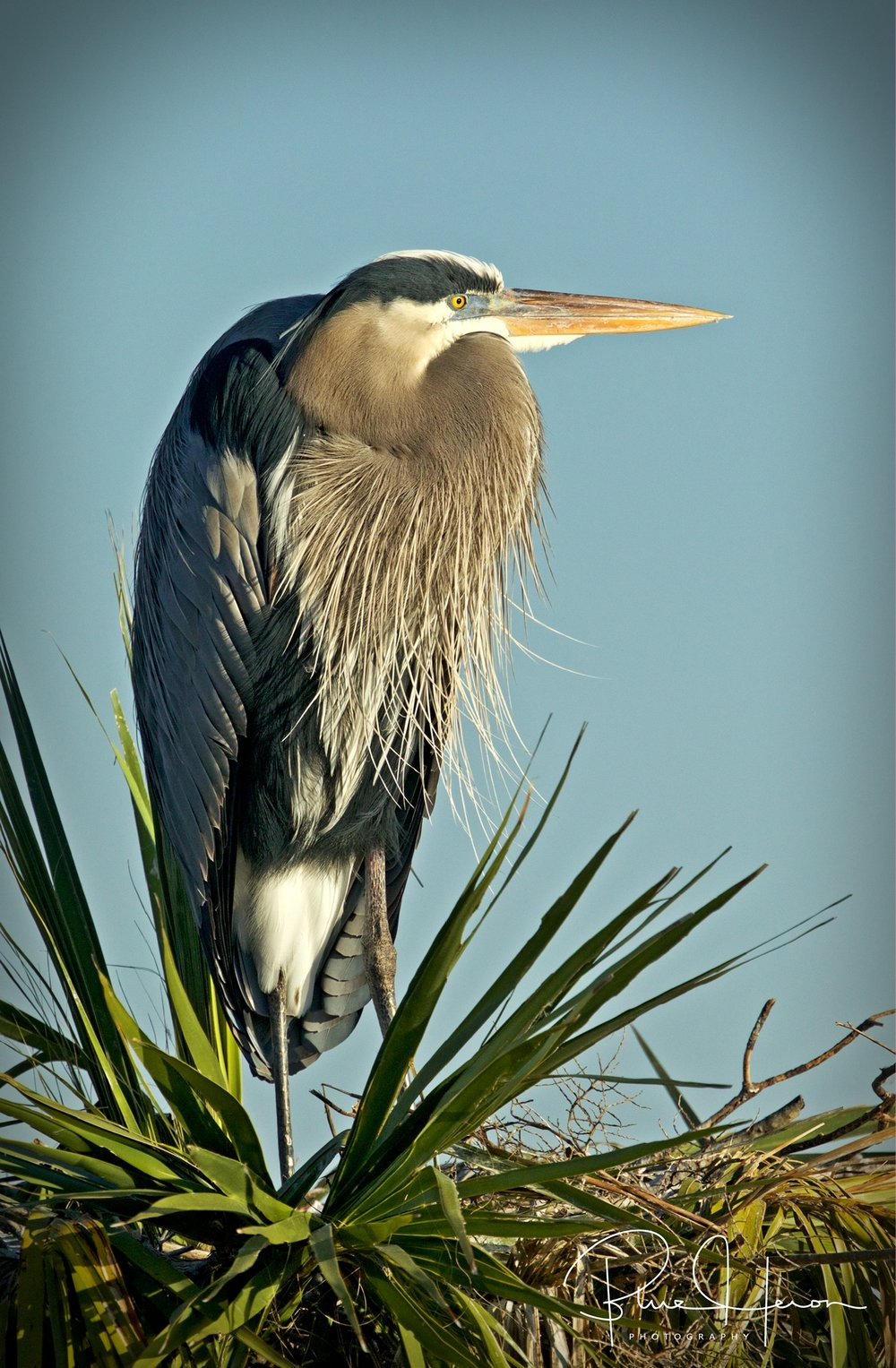 Male Great Blue Herons stake out a nest site and wait and wait for a mate to come check it out.