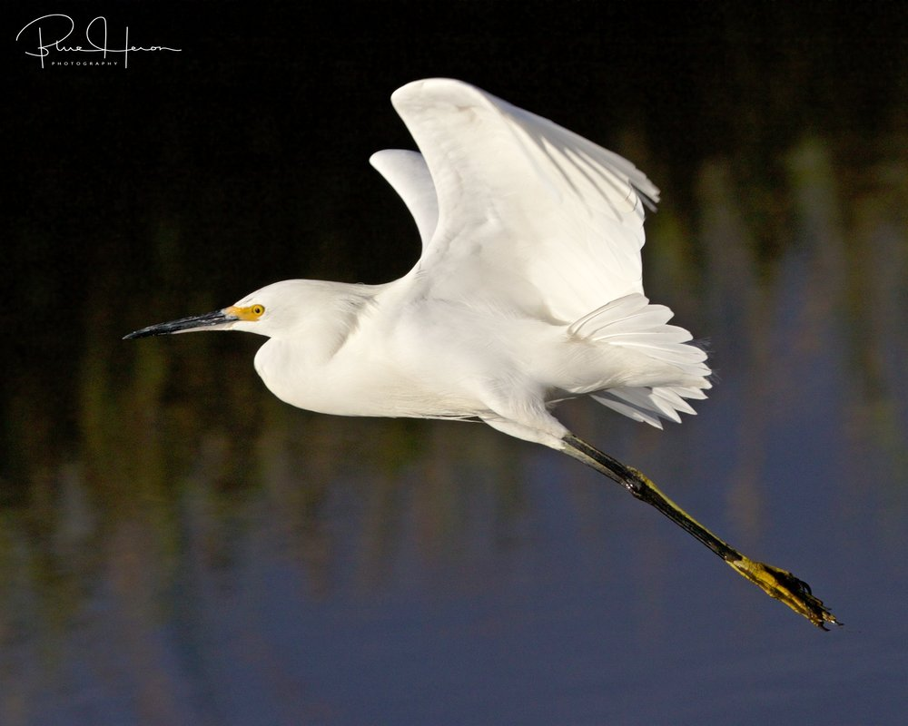 A snow flake goes drifting by in the wind and lands on the dock. Snowy Egret flake that is...