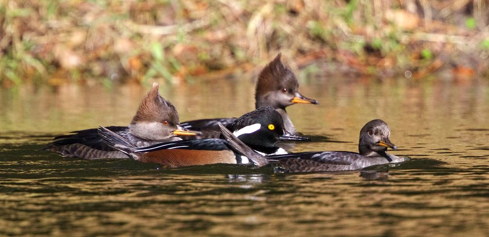 Galz and guyz in the Hood...Hooded Mergansers arrive at the secret Hoodie hangout