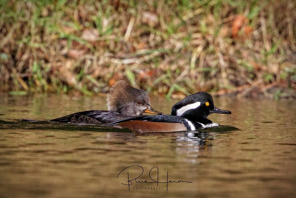 "Hooded Merganser couple,,male has the black and white ""Hood"" feathers"