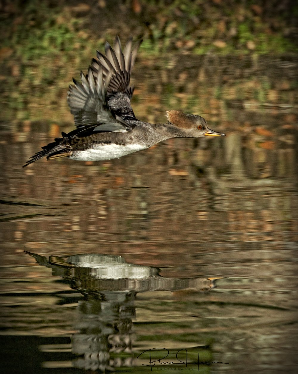 A female Hooded Merganser takes off..