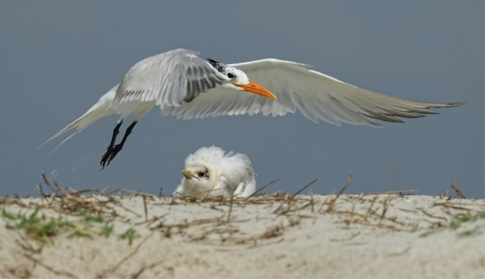 "This Royal Tern chick and parent were featured in an article I wrote called ""Under my Wings"" and published by the Wildlife Conservation Society."