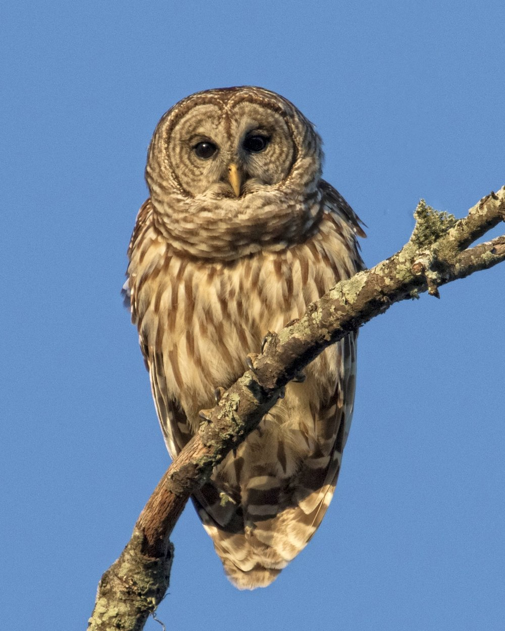 I used a bird call to bring this Barred Owl close to investigate