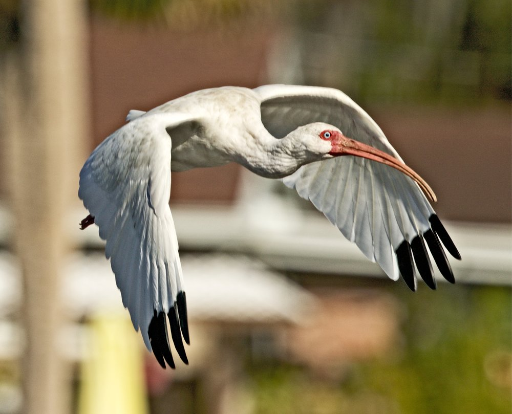 Several mature adult American White Ibis glide in to join me too.