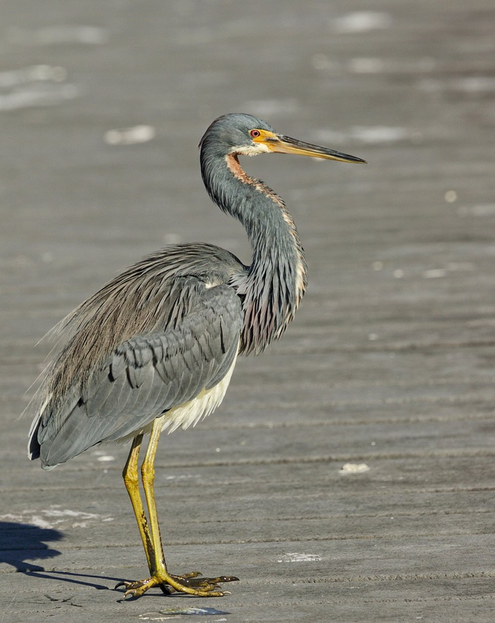 The local Tricolored Heron joins the party...