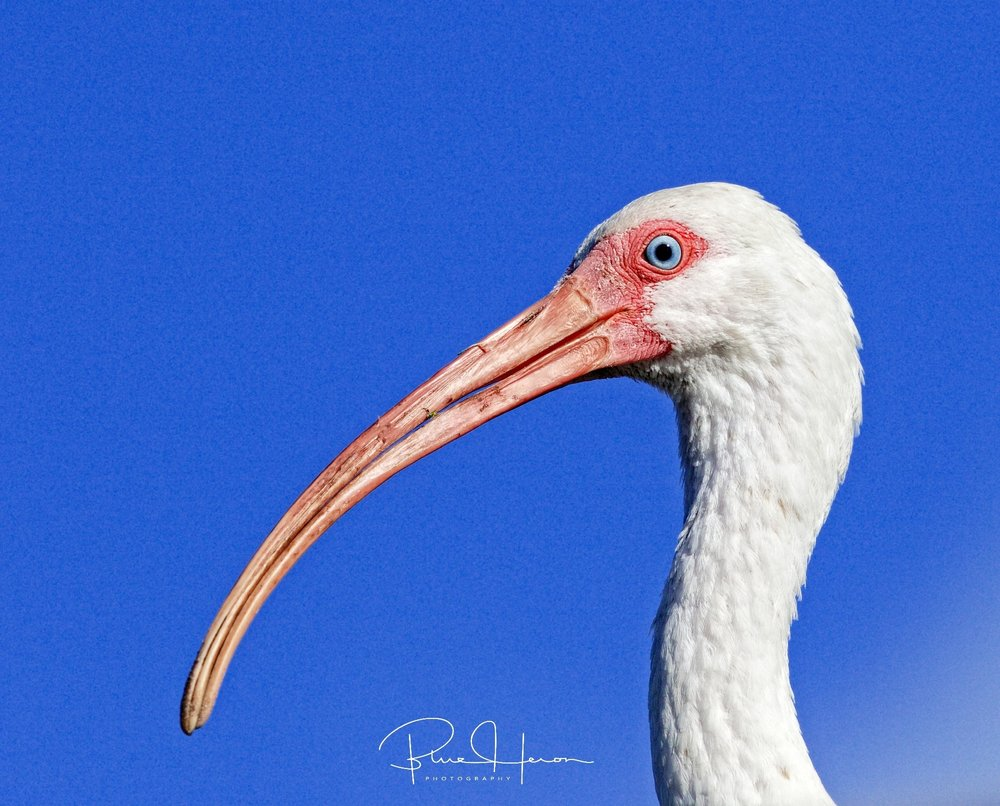 The adult White Ibis landed on the copula roof just over my head and peered down at me..
