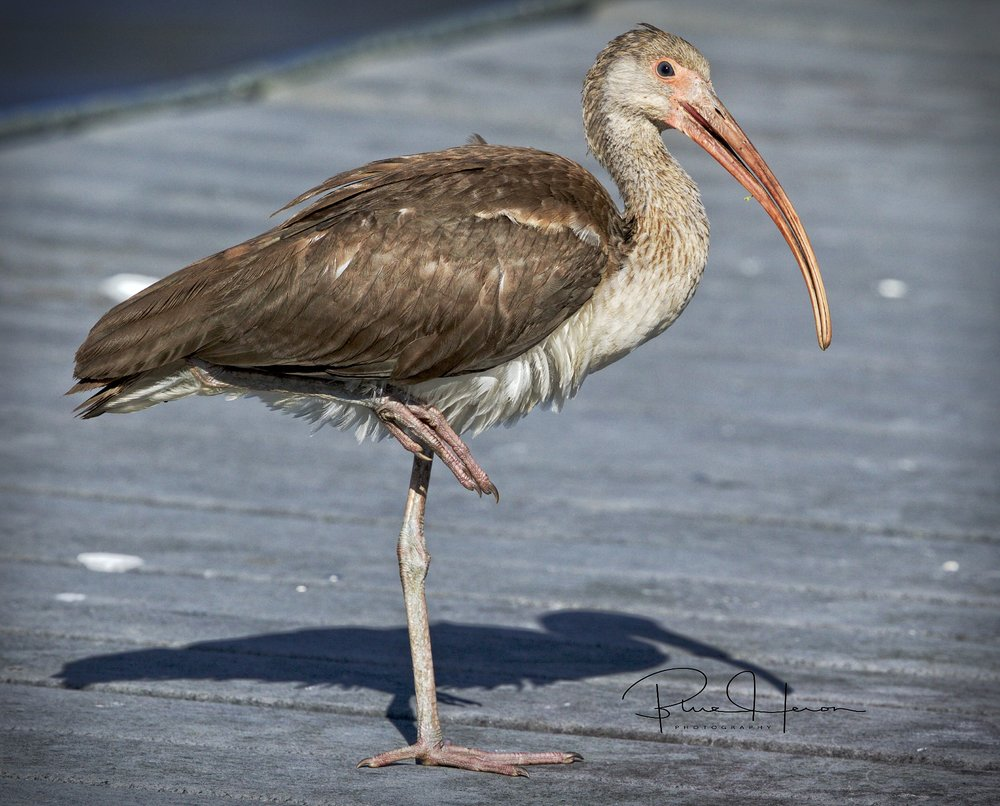 I sat down and relaxed, the Juvenile Ibis pulled up a leg to relax too..