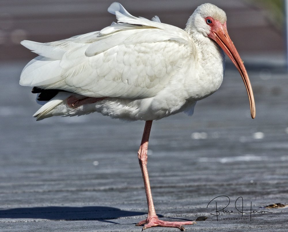 "The adult Ibis did the same..and we sat there ""just chillin"""