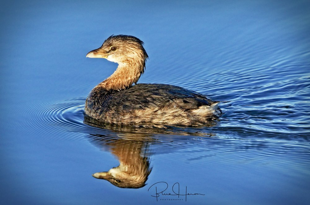 The Pied-billed Grebe, a diving duck swims by me on the Broward..