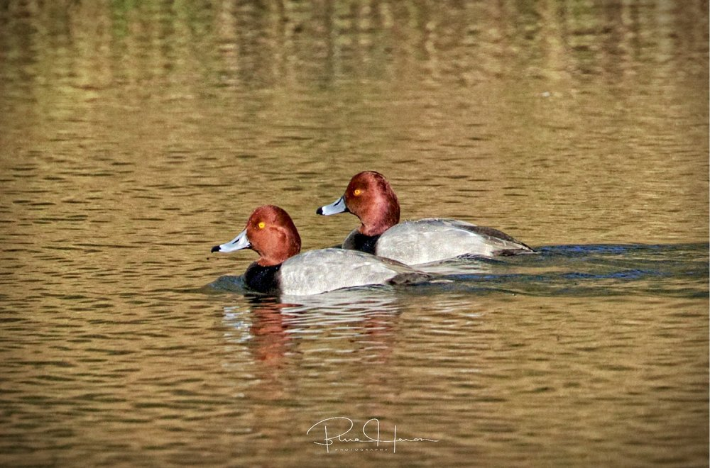 Distant shot of two Redhead Ducks...too many weeds on the path to get closer