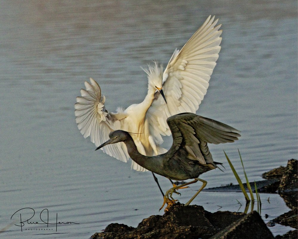The Blizzard nearly blows Broward Bob, the Little Blue Heron from his spot on the bank..