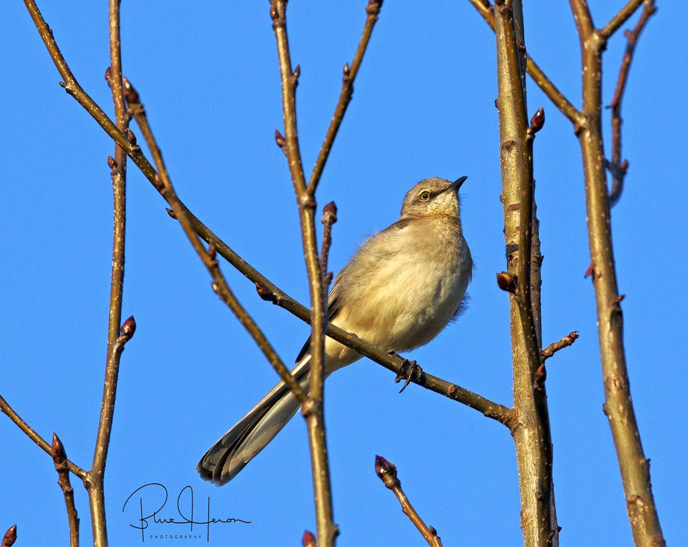 The day started normal. Maple buds and the mocking bird sing of the coming spring...