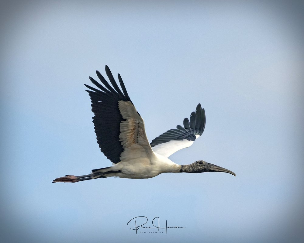 Then things started to get ugly...like this Wood Stork