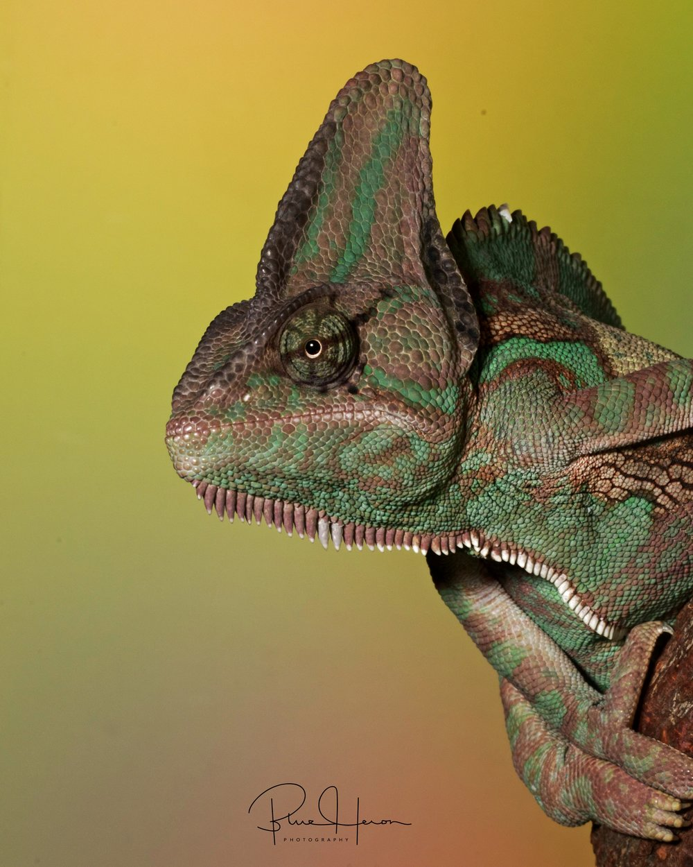 Who says I need a chin tuck? I like it this way..Hooded Chameleon